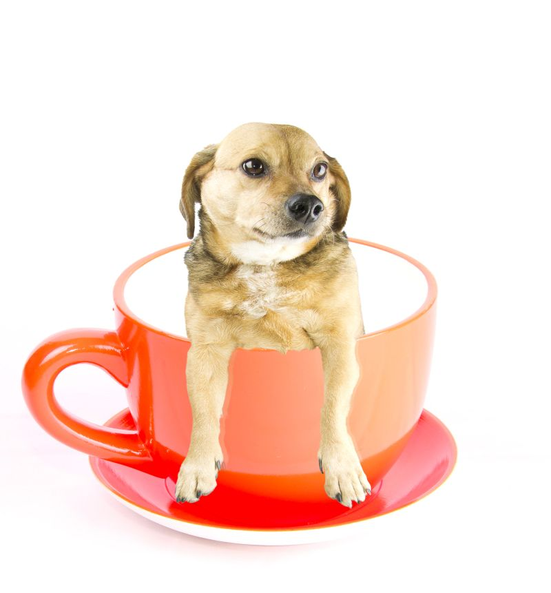 teacup dogs facts and types