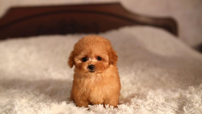 Tiny Poodle Puppy