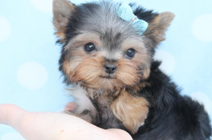 Cute TEACUP Puppies YORKIES