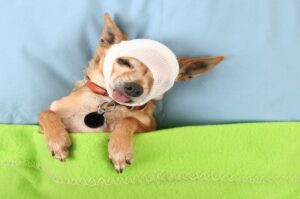 Health Care Tips For Teacup Puppies