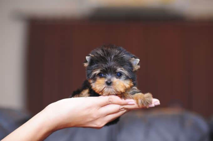Info on shaved teacup yorkies
