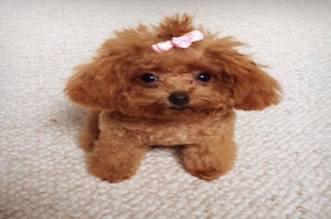 TEACUP Dog Breed POODLES Brown with Ribbon