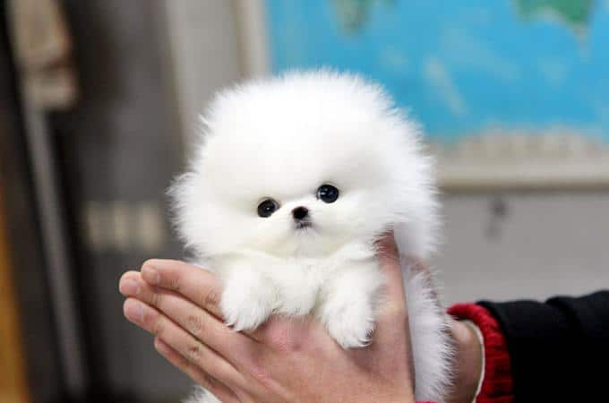 TEACUP Puppy POMERANIAN White Color