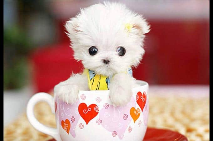 TEACUP puppy MALTESE White standing inside the cup