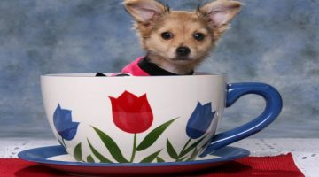 Toy Dogs and Teacup Dogs What is the Difference?