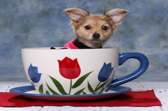 Teacup Dogs Daily » Your Small Dogs Informations Center