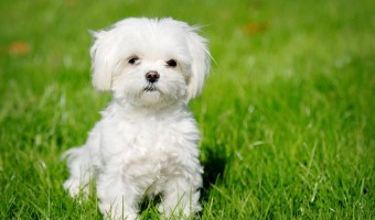 8 Important Questions About Teacup Maltipoo Dogs