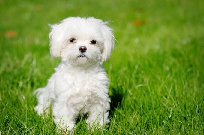 Teacup Maltipoo Dog Breed Emily