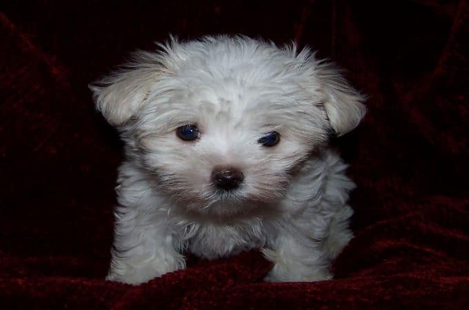 Teacup-maltipoo-dog-breed