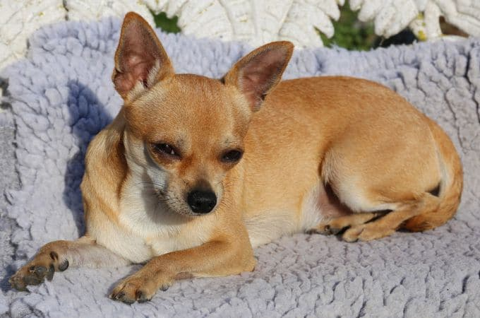 Big Chihuahua breed, Name Sobel