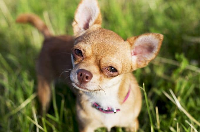 Teacup Chihuahua – 8 Facts About This Dog