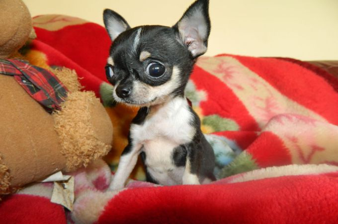 Full Grown Teacup Chihuahua with big Eye