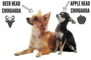 Apple Head vs Deer Head Chihuahua: What is the Difference?