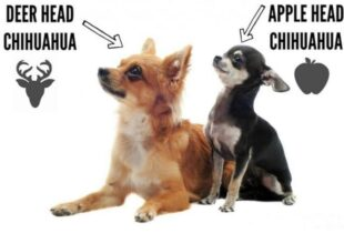 Apple Head vs Deer Head Chihuahua Facts