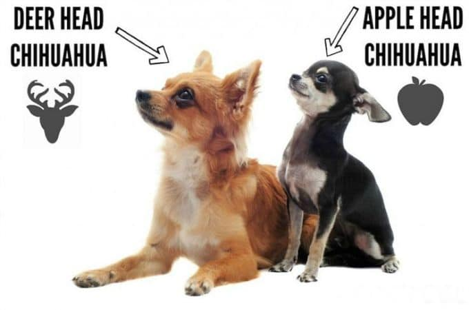 2 Types of Chihuahua Dogs