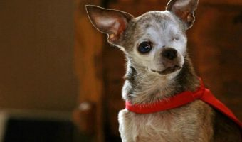 How To Make Your Chihuahua Live Longer