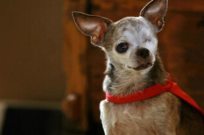 Chihuahua LifeSpan Guide
