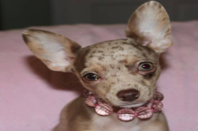 6 Different Types of Chihuahua Dogs (Coats and Head Shapes