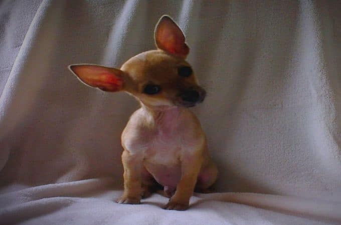 Pictures Of Pear Head Chihuahua