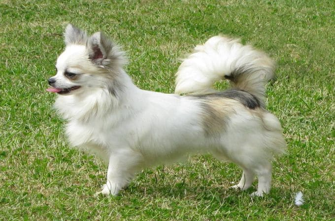 LONG COAT CHIHUAHUA Color White
