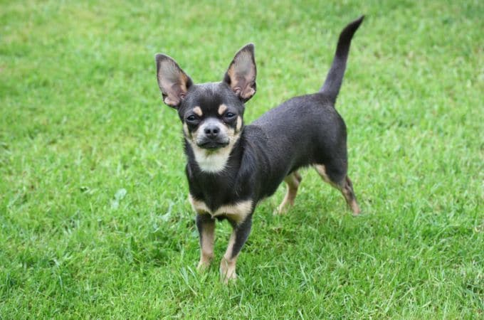 SMOOTH COAT CHIHUAHUA Female