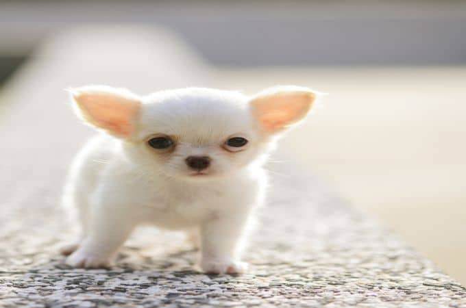 Teacup Apple Head Chihuahua White