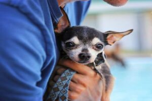 Different Types of Chihuahua Dog Breeds – Body, Head, and Coat Styles