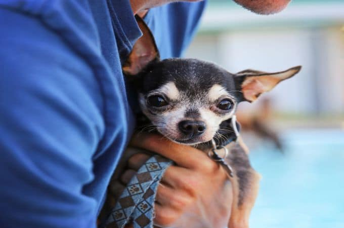 Other Types of Chihuahua Breeds