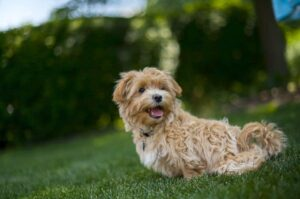 Maltipoo Breeds 101: Beginners Guide About Maltipoo Dogs