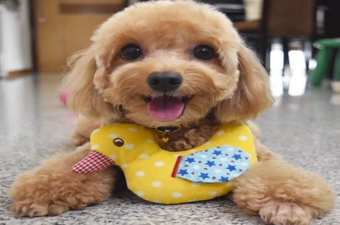 Cute Maltipoo Dog Happy