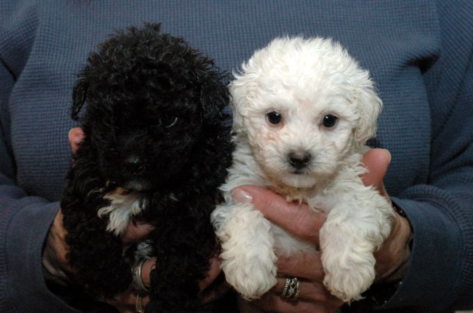 Black and White Maltipoo