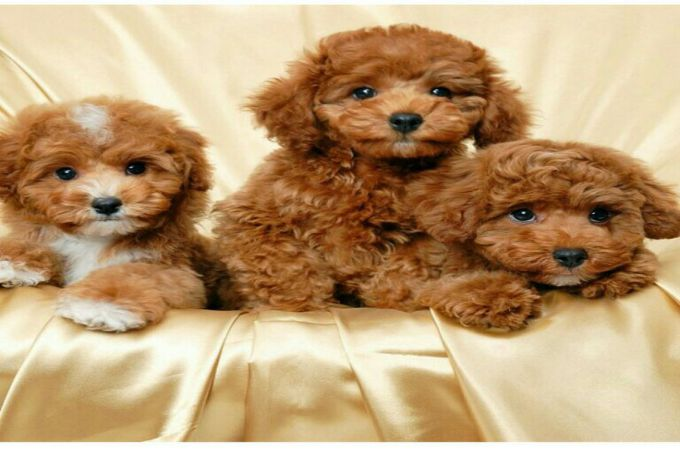 Maltipoo Puppies Color Brown