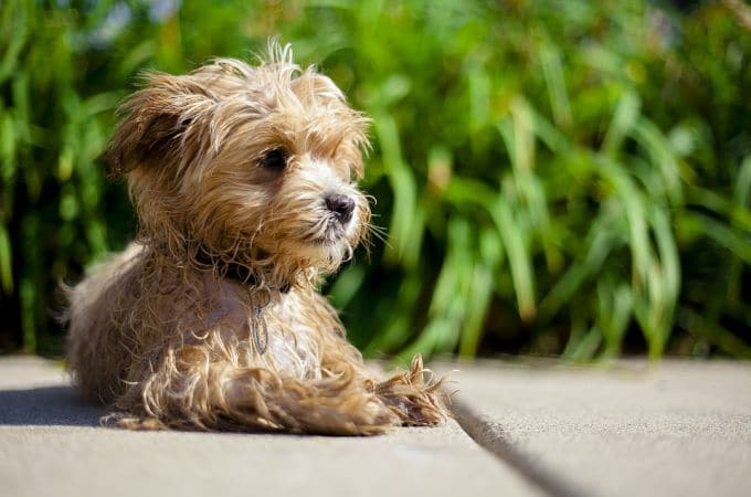 Maltipoo Dog Breeds - Pictures, Temparament & Facts About ...