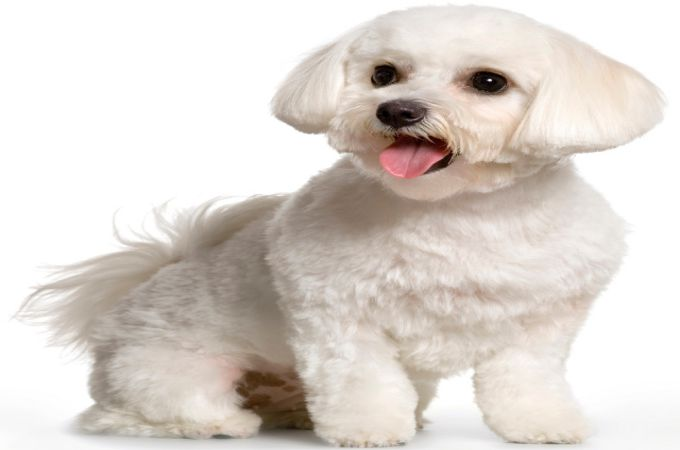 Tremendous Basic Grooming Guide Amp Haircut Styles For Maltipoo Dogs Short Hairstyles For Black Women Fulllsitofus