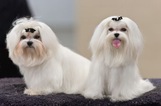 Teacup Maltese - Quick Facts About The Adorable Designer Dog