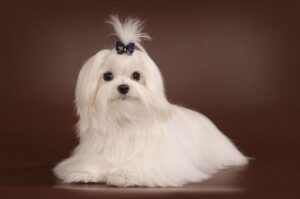 The Origin of Teacup Maltese Dogs & How to Care Them