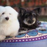 Maltese Mix Breed Black and White