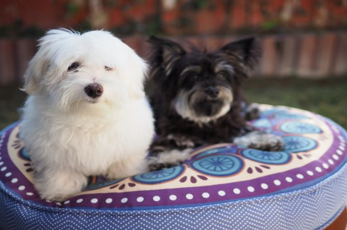 Top 10 World Most Popular Maltese Mix Dog Breeds Teacup Dogs Daily
