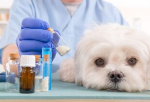 Picture of Maltese Puppy Dog That is Sick
