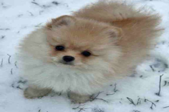 pomeranian and maltese top 10 world most popular maltese mix dog breeds 187 teacup 8993