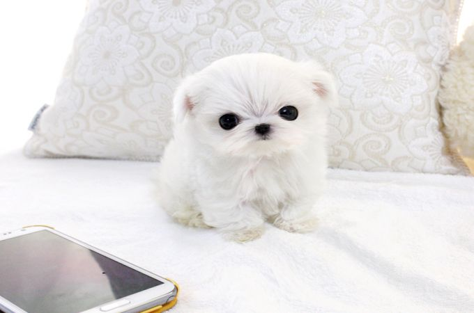 miniature maltese Dog