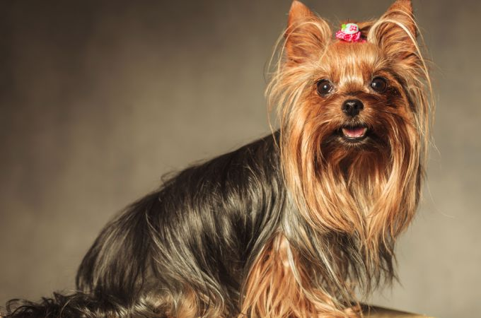 Brown miniature yorkshire terrier