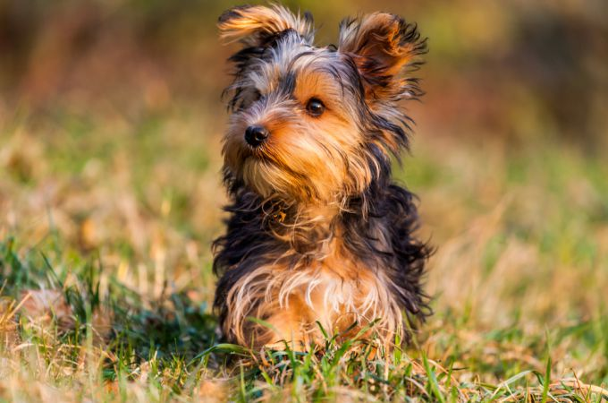 Brown teacup yorkie