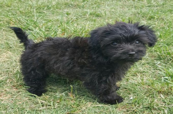 maltese dog. cute black maltese dog