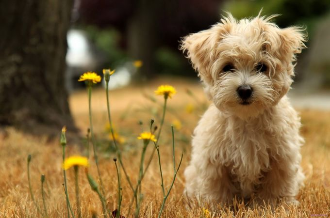 Cute Brown Maltese Puppy