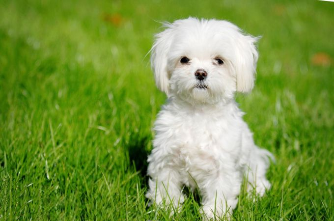 Maltese Dogs: 6 Popular Haircut Styles and Colors - Different Black Hairstyles