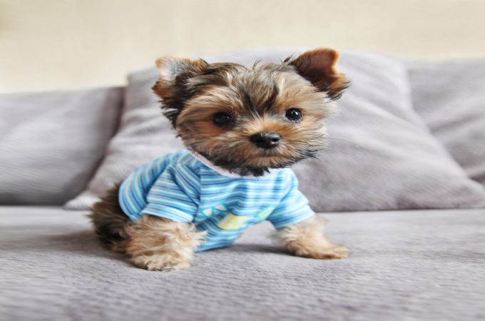 Cute yorkie teacup puppy
