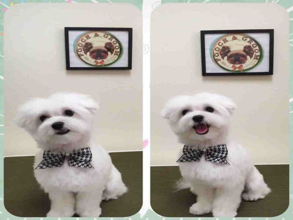Maltese Haircut Style Teddy Bear Cut