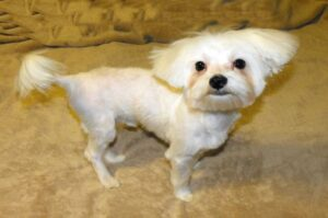 Maltese Haircuts and Styles of Rocco