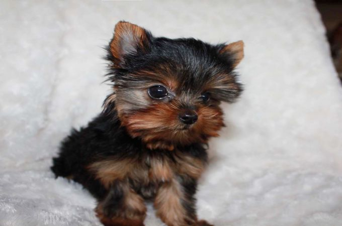 7 Types Of Adorable Yorkie Puppies Teacupdogdaily